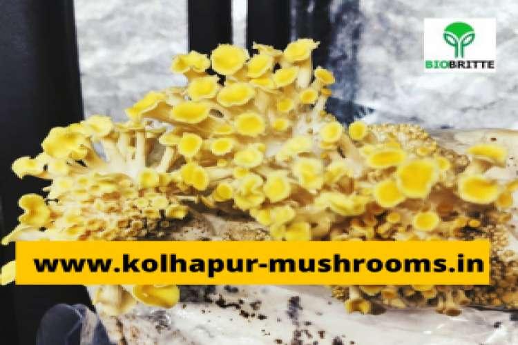 Buy a mushroom kit in pune